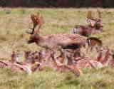 Guided Walk - Deer herd in Dyrham Park