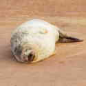 Common Seal seen on the Nature Group's Avocet Cruise